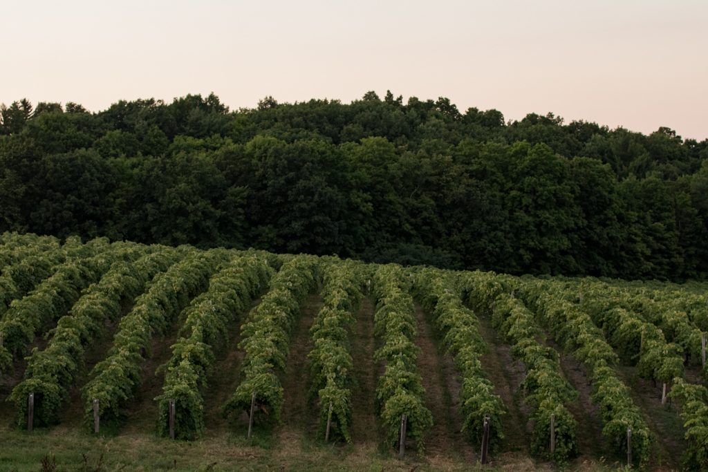 Rows of grapevines near Keuka Lake in the Finger Lakes Region of New York.