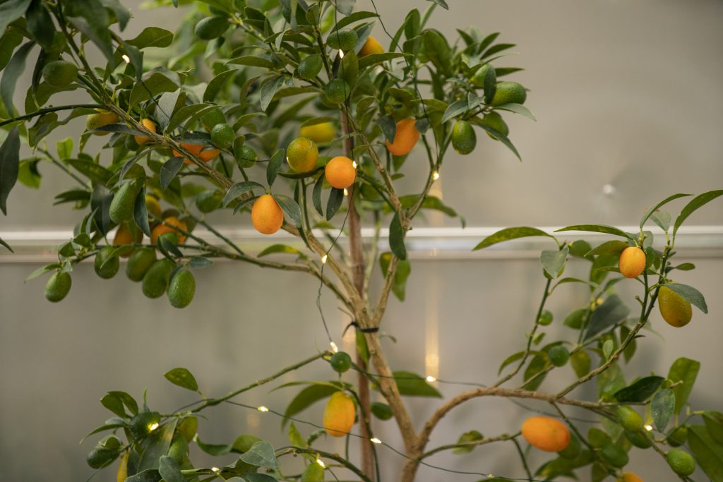 Close up of a lit kumquat tree in front of an Airstream trailer.