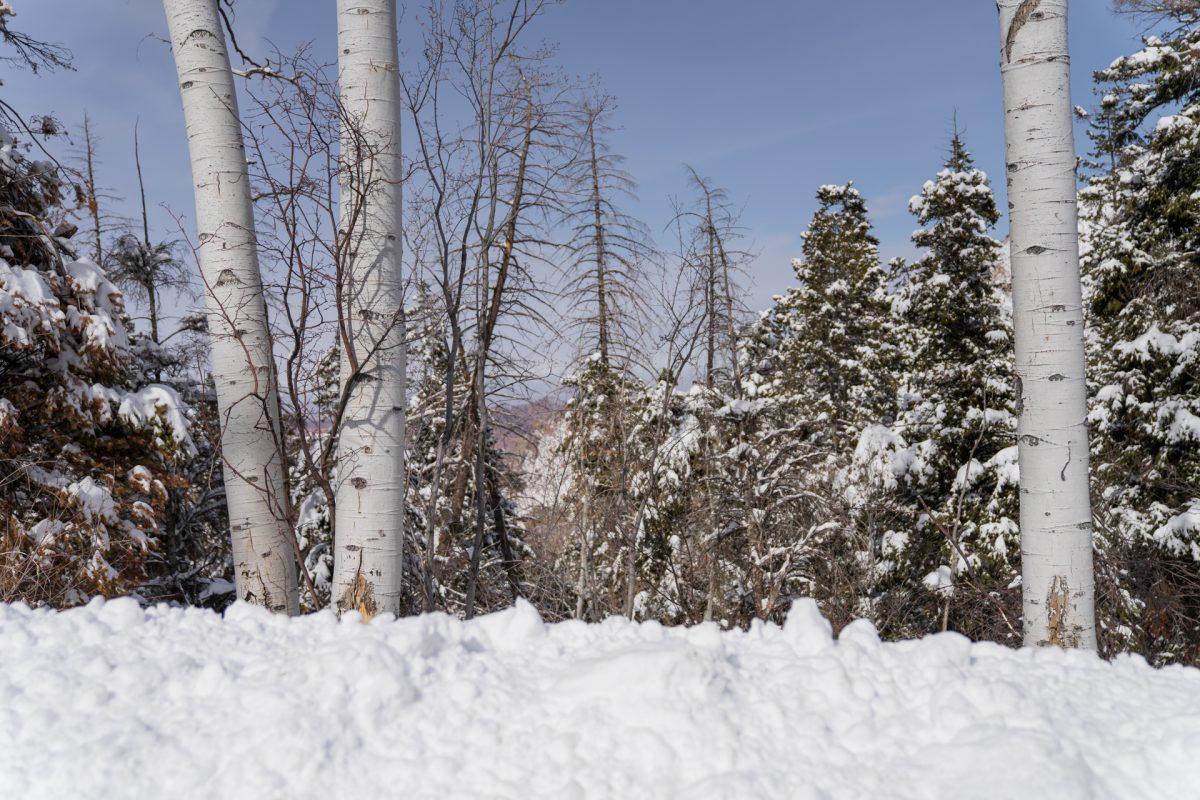 Aspens in deep snow along the La Sal Mountain road in Moab, Utah.