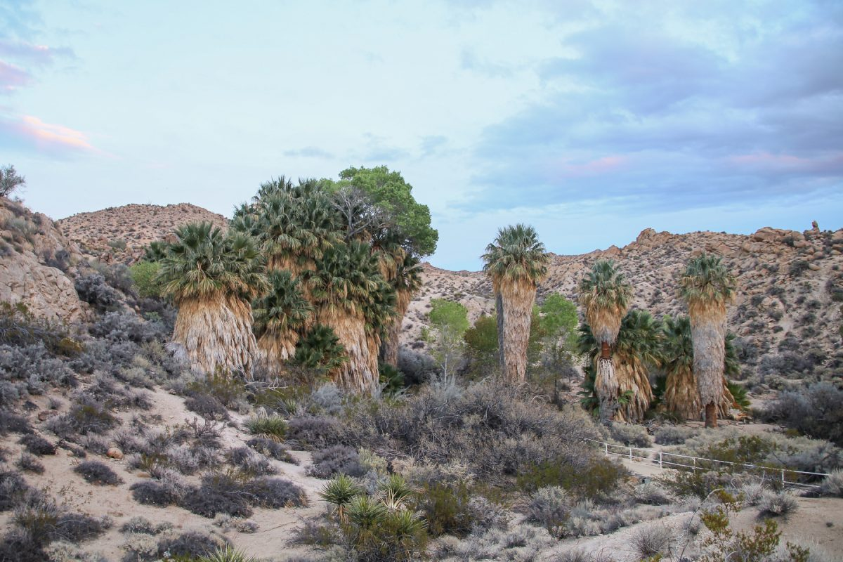 Large palm trees along the San Andreas fault line in Joshua Tree National Park in California.