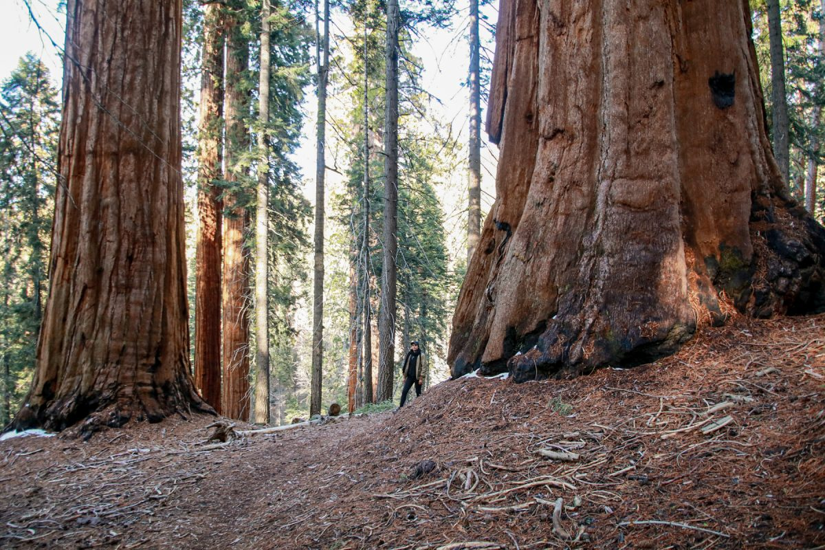 A person walks through two large sequoia trees at Sequoia National Park in California.