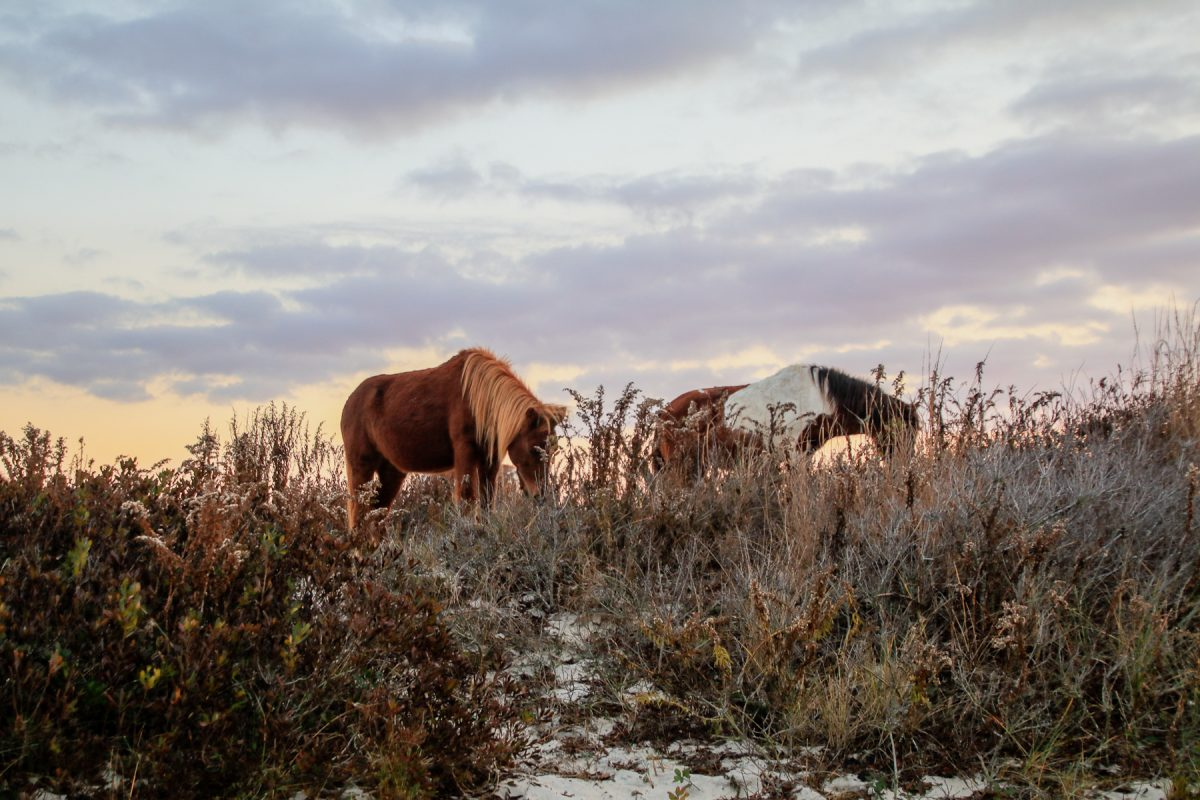 Horses feed on grass on Assateague Island National Seashore in Delaware and Maryland.