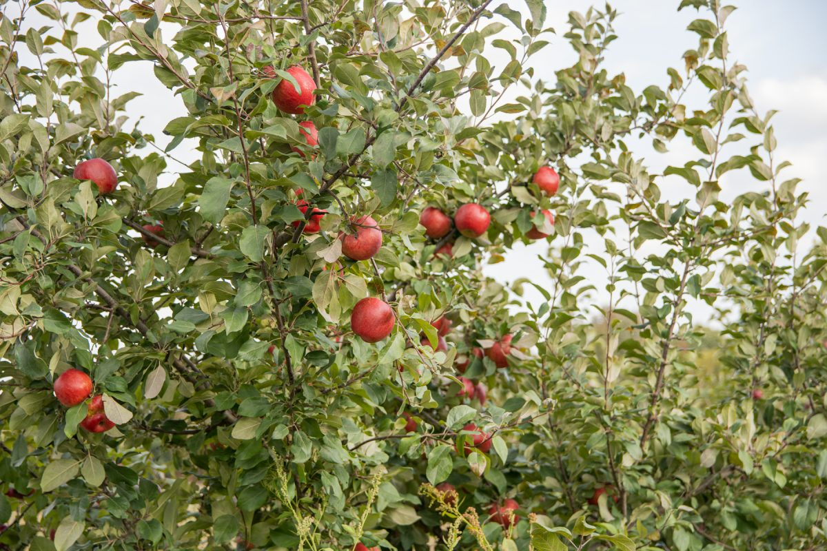 Apples on the tree at the Treworgy Family Orchard in Levant, Maine.