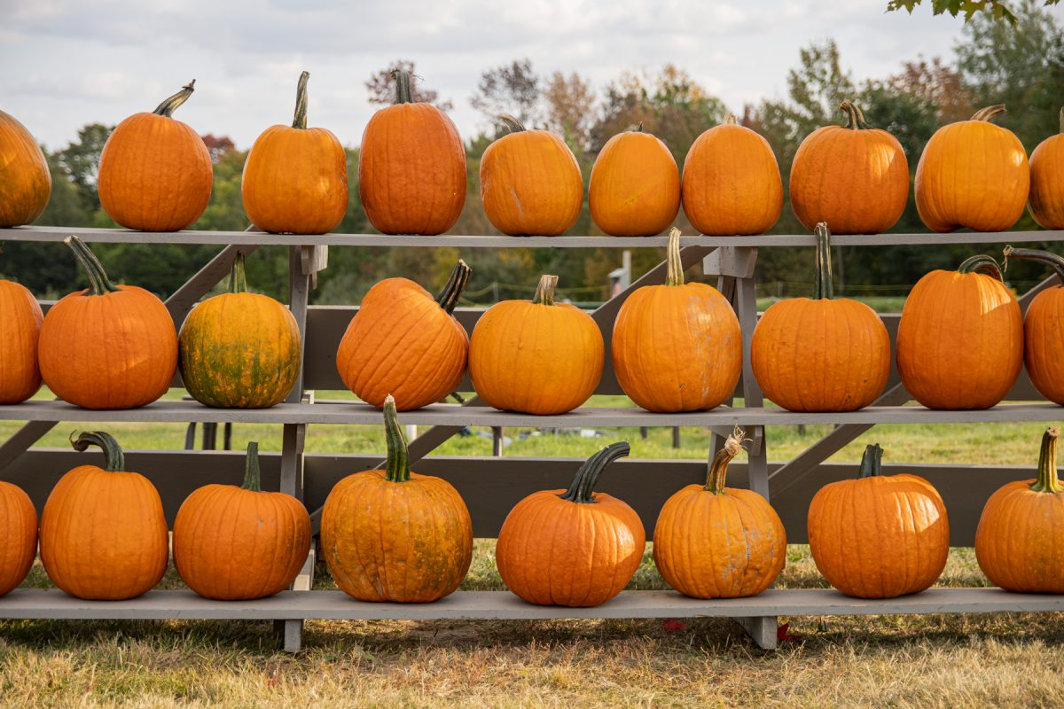 Rows of pumpkins on display at the Treworgy Family Orchard in Levant, Maine.