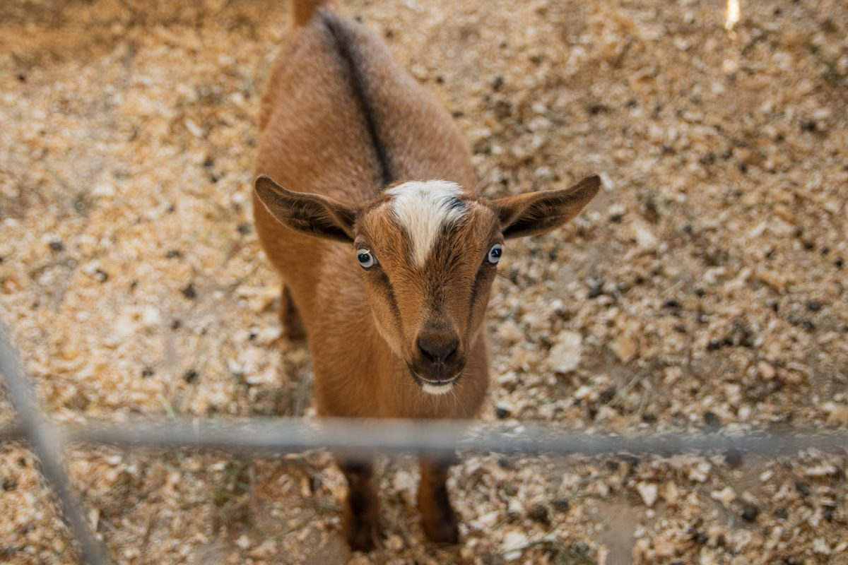 A very adorable goat waiting to be pet and fed at the Treworgy Family Orchard in Levant, Maine.