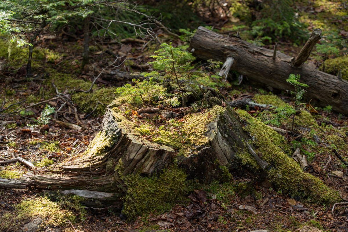 Some baby pine trees grow from the stump of a cut-down tree along the Ocean Path in Acadia National Park in Maine.